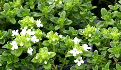 Best Low Maintenance Lawn Alternatives Lemon Frost Thyme #LawnSubstitute #Gardening #ReplaceYourGrass #NoMowGrassAlternative #GrassAlternatives #LawnAlternatives