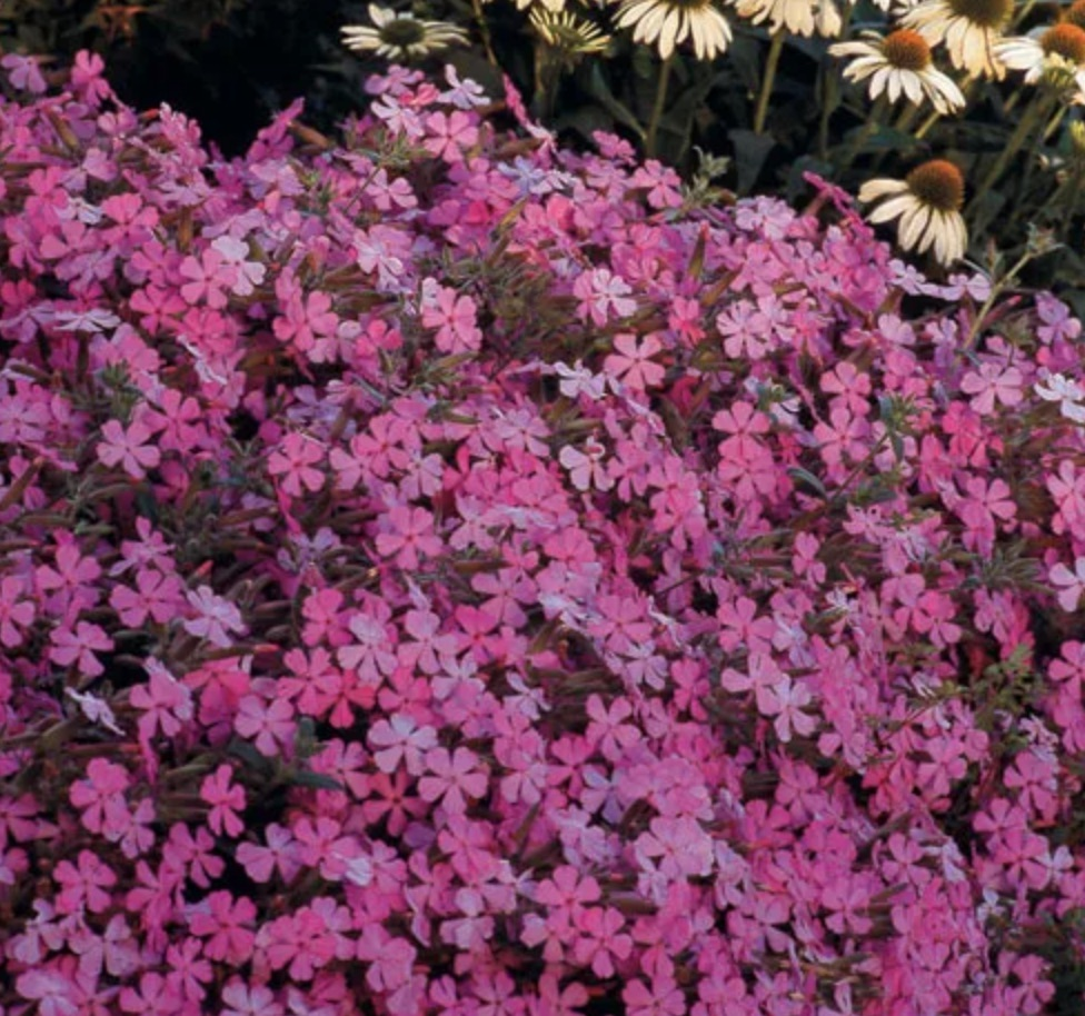 A Favorite of Hummingbirds Max Frei Saponaria #LawnSubstitute #Gardening #ReplaceYourGrass #NoMowGrassAlternative #GrassAlternatives #LawnAlternatives