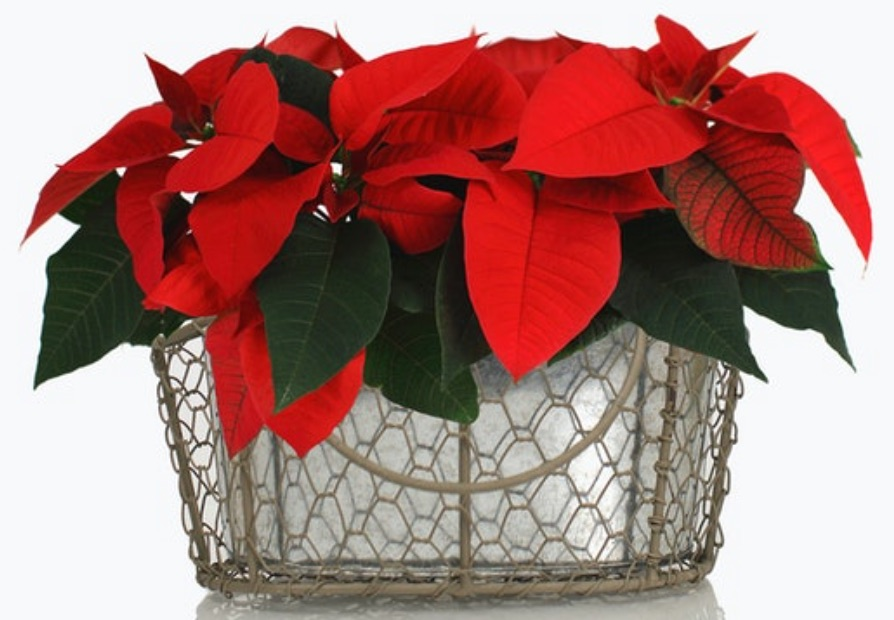 A Pop of Christmas Color Merry Merry by BloomsyBox #FreshFlowers #flowerdelivery #Centerpiece #OnlineFlowers #FlowersOnline #ChristmasCenterpieces #ChristmasTableCenterpiece #ChristmasFlowers