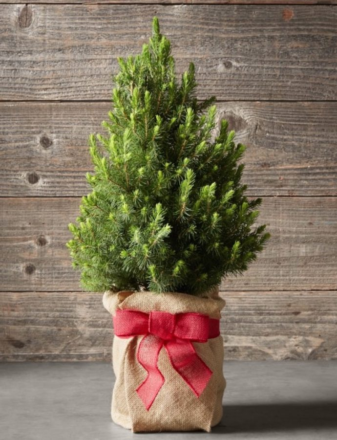 Best Fresh Tabletop Christmas Trees