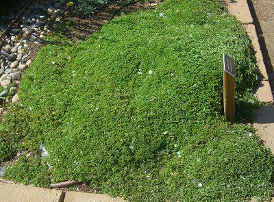 Turf Replacement Mounding Marjoram #LawnSubstitute #Gardening #ReplaceYourGrass #NoMowGrassAlternative #GrassAlternatives #LawnAlternatives