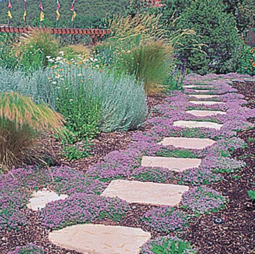 Pollinator Loving Pink Chintz Creeping Thyme #LawnSubstitute #Gardening #ReplaceYourGrass #NoMowGrassAlternative #GrassAlternatives #LawnAlternatives