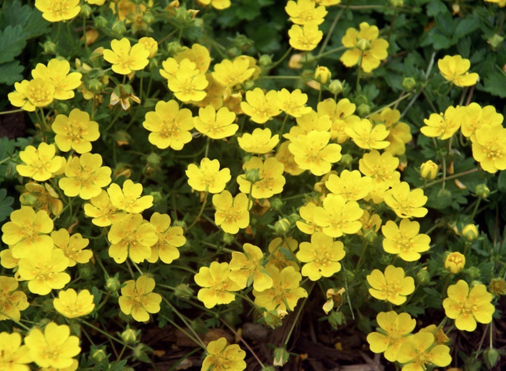 Minimize Your Mowing Potentilla Neumanianna #LawnSubstitute #Gardening #ReplaceYourGrass #NoMowGrassAlternative #GrassAlternatives #LawnAlternatives
