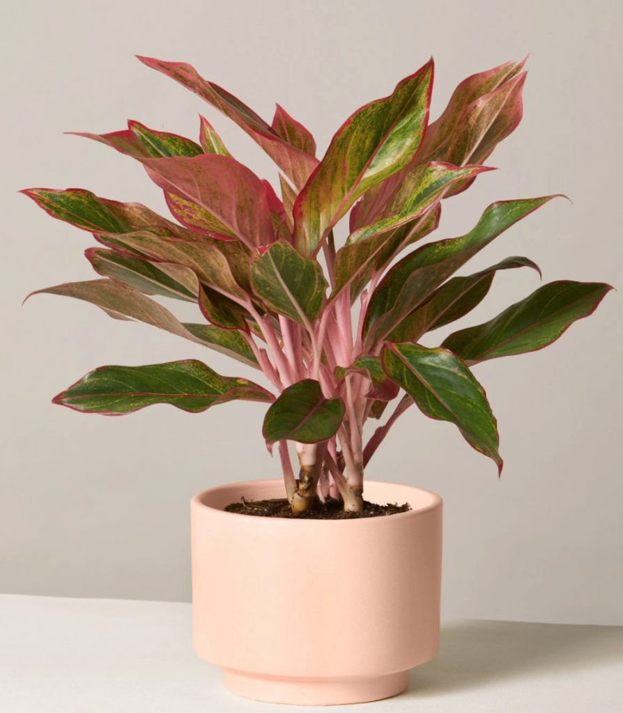 Best Online Thanksgiving Flowers Red Aglaonema by the Sill #FreshFlowers #flowerdelivery #bouquets #OnlineFlowers #FlowersOnline #AutumnFlowers #FallFlowers #ThanksgivingFlowers