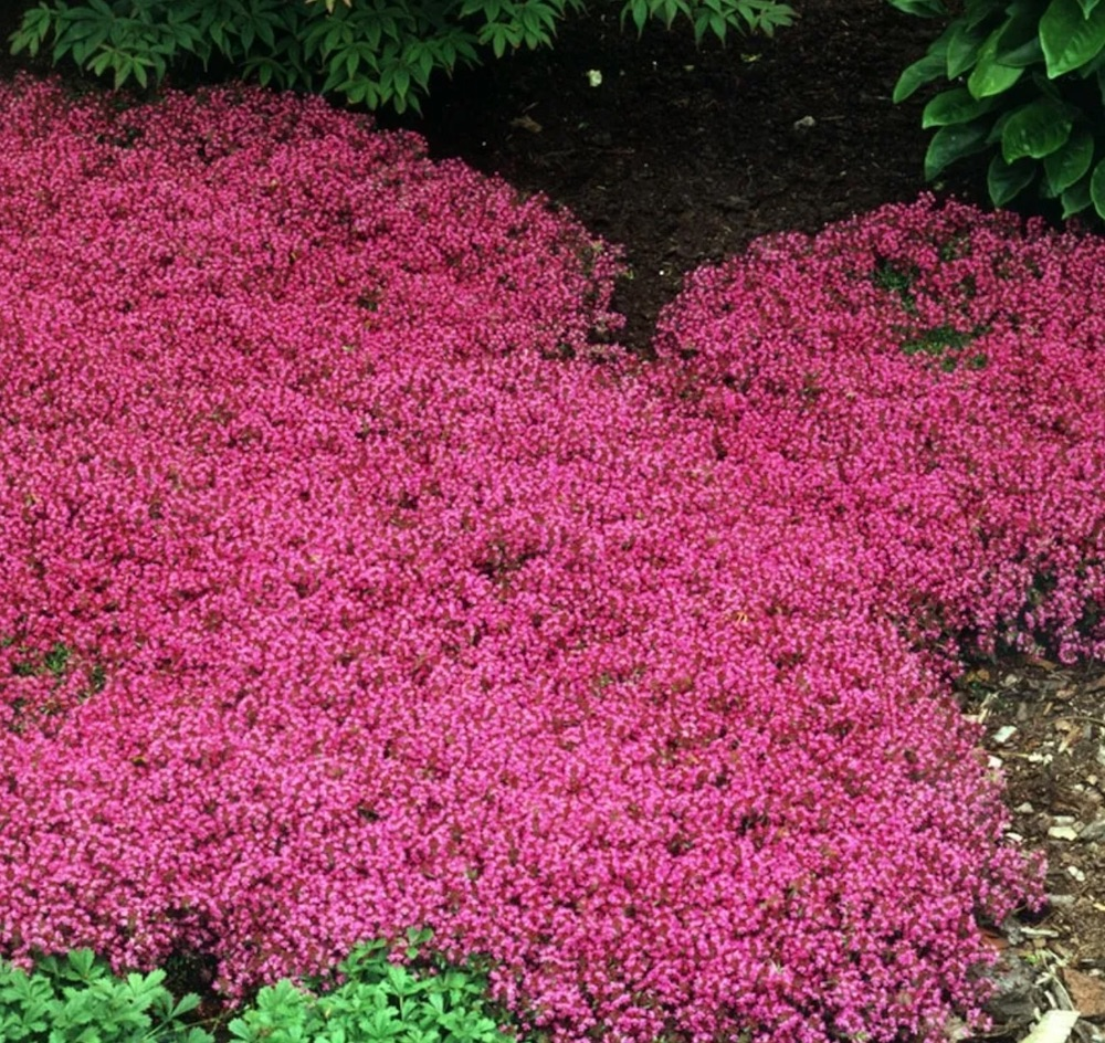 Best Low Maintenance Lawn Alternatives Red Mother-of-Thyme photo by Walters Gardens #LawnSubstitute #Gardening #ReplaceYourGrass #NoMowGrassAlternative #GrassAlternatives #LawnAlternatives