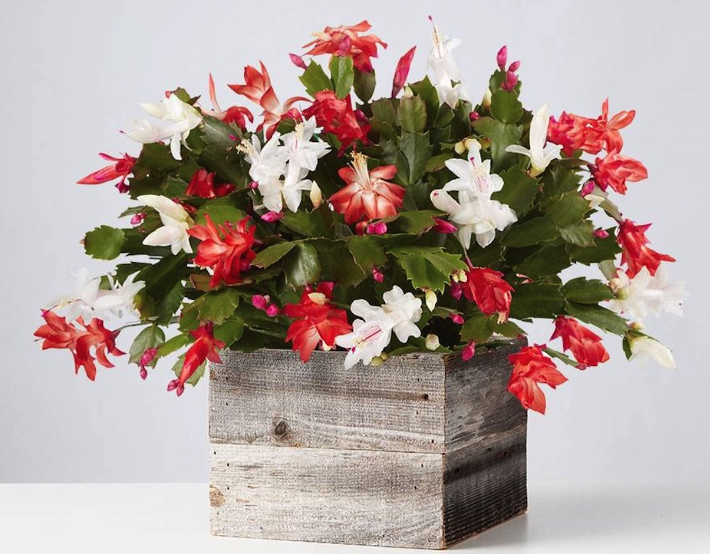 Best Online Christmas Flowers Red and White Christmas Cactus by Plants com #FreshFlowers #FlowerDelivery #bouquets #OnlineFlowers #FlowersOnline #Christmas #ChristmasFlowers #FestiveFlowers