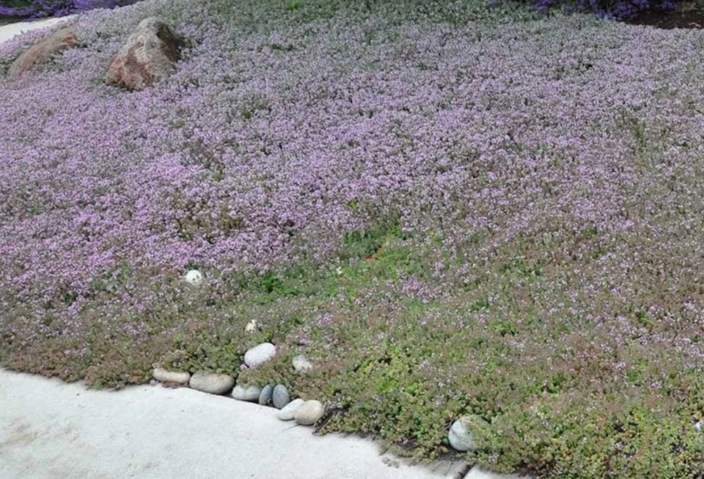 Replace Your Grass Reiter Creeping Thyme #LawnSubstitute #Gardening #ReplaceYourGrass #NoMowGrassAlternative #GrassAlternatives #LawnAlternatives