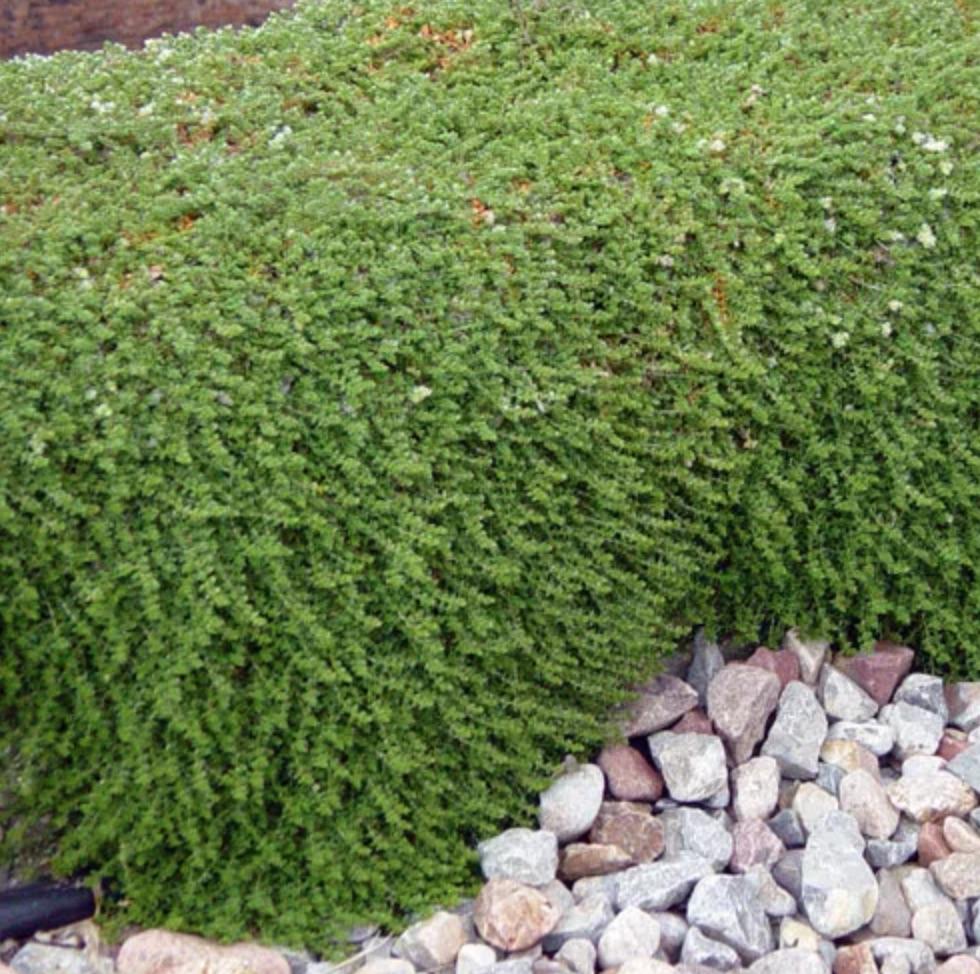 Best Low Maintenance Lawn Alternatives Silver Nailwort #LawnSubstitute #Gardening #ReplaceYourGrass #NoMowGrassAlternative #GrassAlternatives #LawnAlternatives