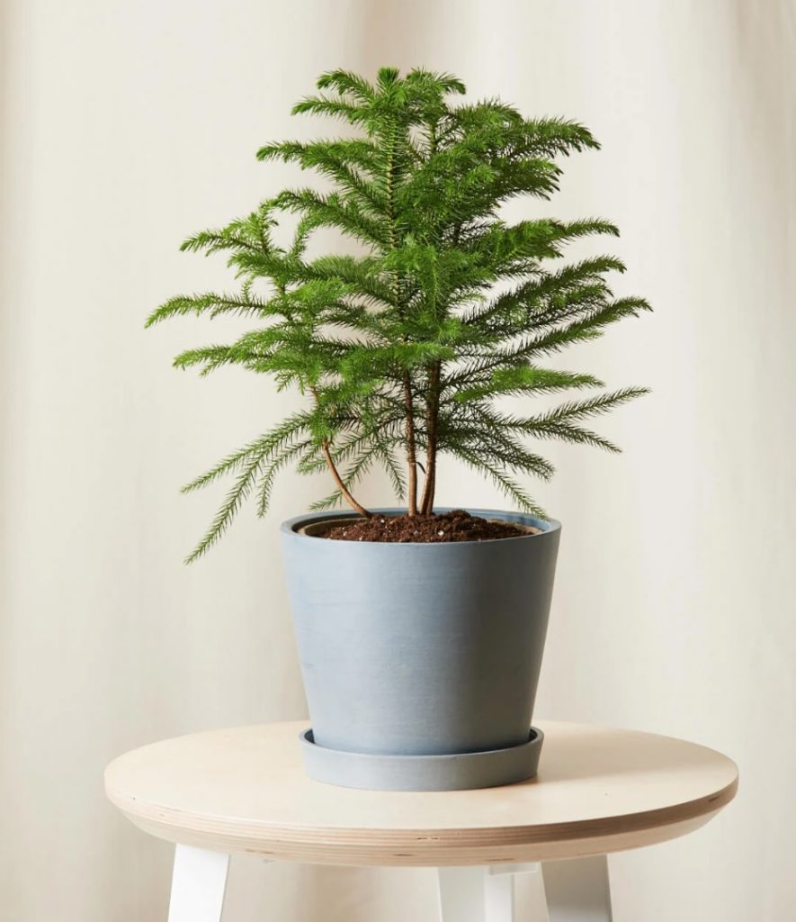 The Season of Giving Tabletop Norfolk Pine with Slate Container by Bloomscape #FreshFlowers #FlowerDelivery #bouquets #OnlineFlowers #FlowersOnline #Christmas #ChristmasFlowers #FestiveFlowers