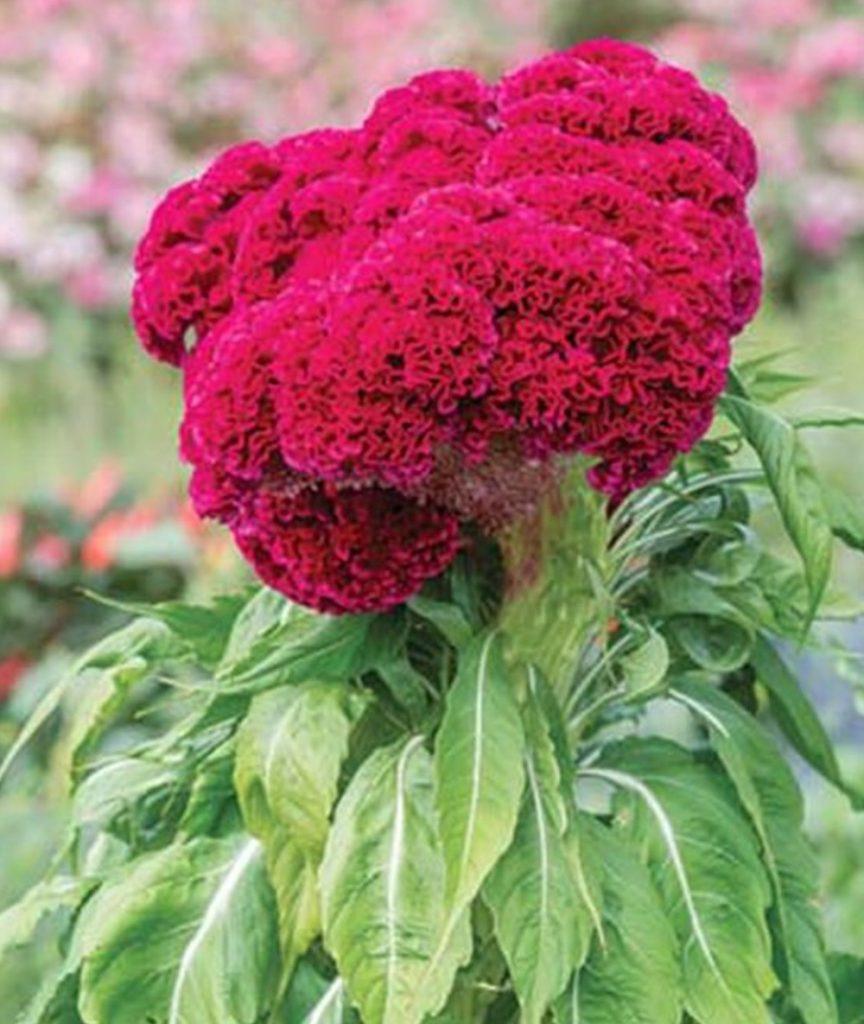 Pollinator Loving How to Grow Celosia such as Red Velvet Cake #Celosia RedVelvetCakeCelosia #Gardening #SummerFlowers #BeneficalForPollinators #BeeFriendly