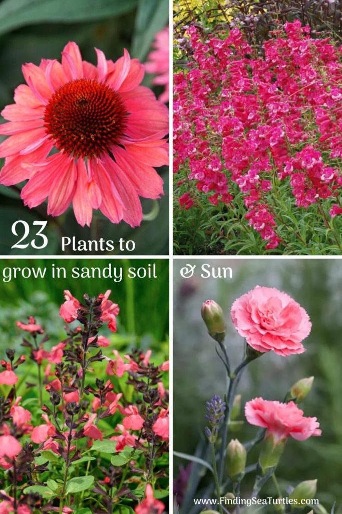 23 Plants to grow in sandy soil Sun #SandySoil #SandySoilConditions #Gardening #PlantsForSandySoil #SandySoilPlants #Landscaping