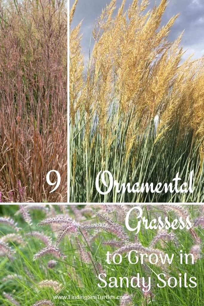 9 Ornamental Grasses that grow in Sandy Soils #SandySoil #SandySoilOrnamentalGrasses #OrnamentalGrasses #Gardening #GrassesForSandySoil #SandySoilSolutions #Landscaping