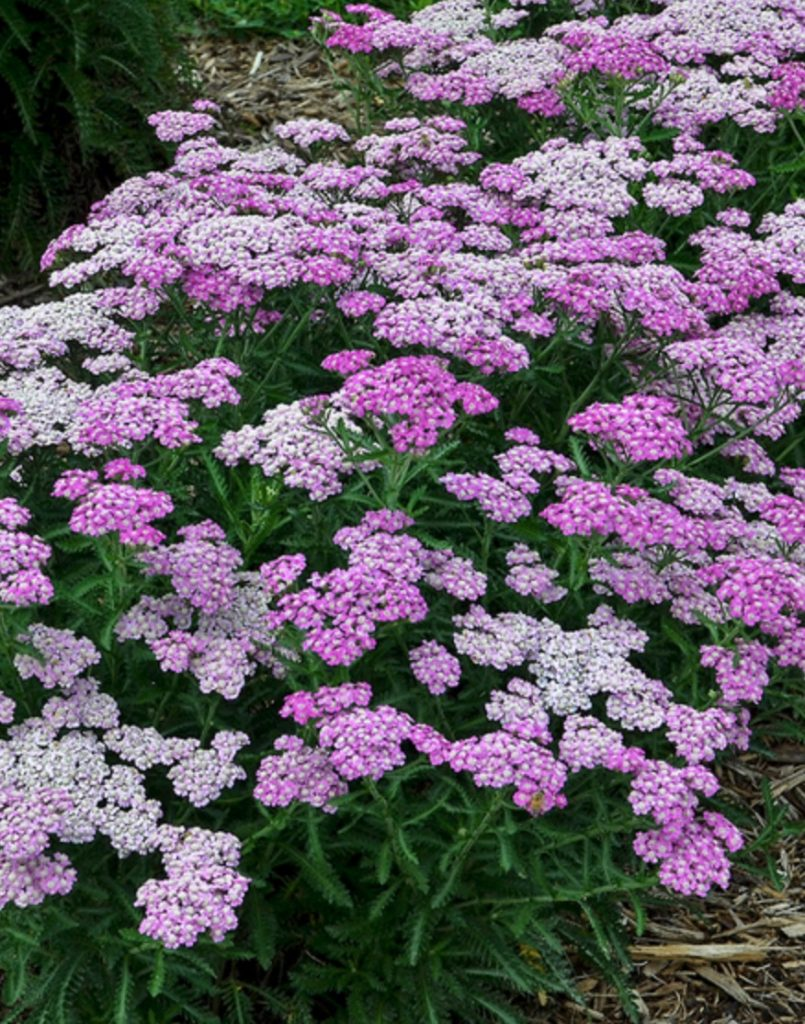 Beneficial for Pollinators Achillea Firefly Amethyst #SandySoil #SandySoilConditions #Gardening #PlantsForSandySoil #SandySoilPlants #Landscaping
