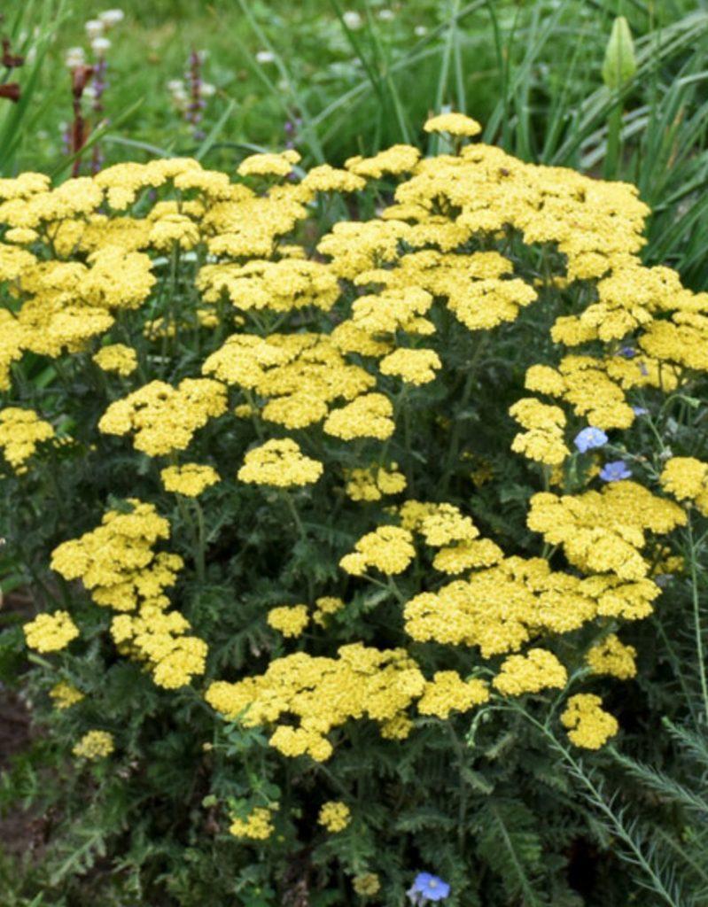 Plants that Grow in Sandy Soil Achillea Firefly Sunshine - photo by Walters Gardens Inc #SandySoil #SandySoilConditions #Gardening #PlantsForSandySoil #SandySoilPlants #Landscaping
