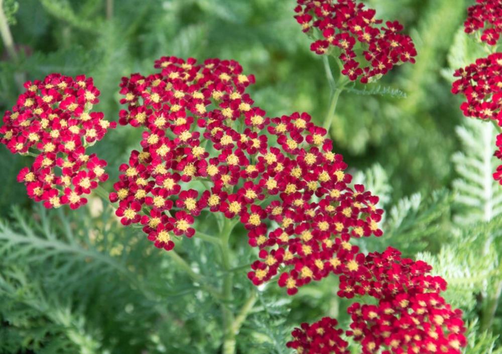 Plants that Grow in Sandy Soil Achillea Milly Rock Red Yarrow #SandySoil #SandySoilConditions #Gardening #PlantsForSandySoil #SandySoilPlants #Landscaping