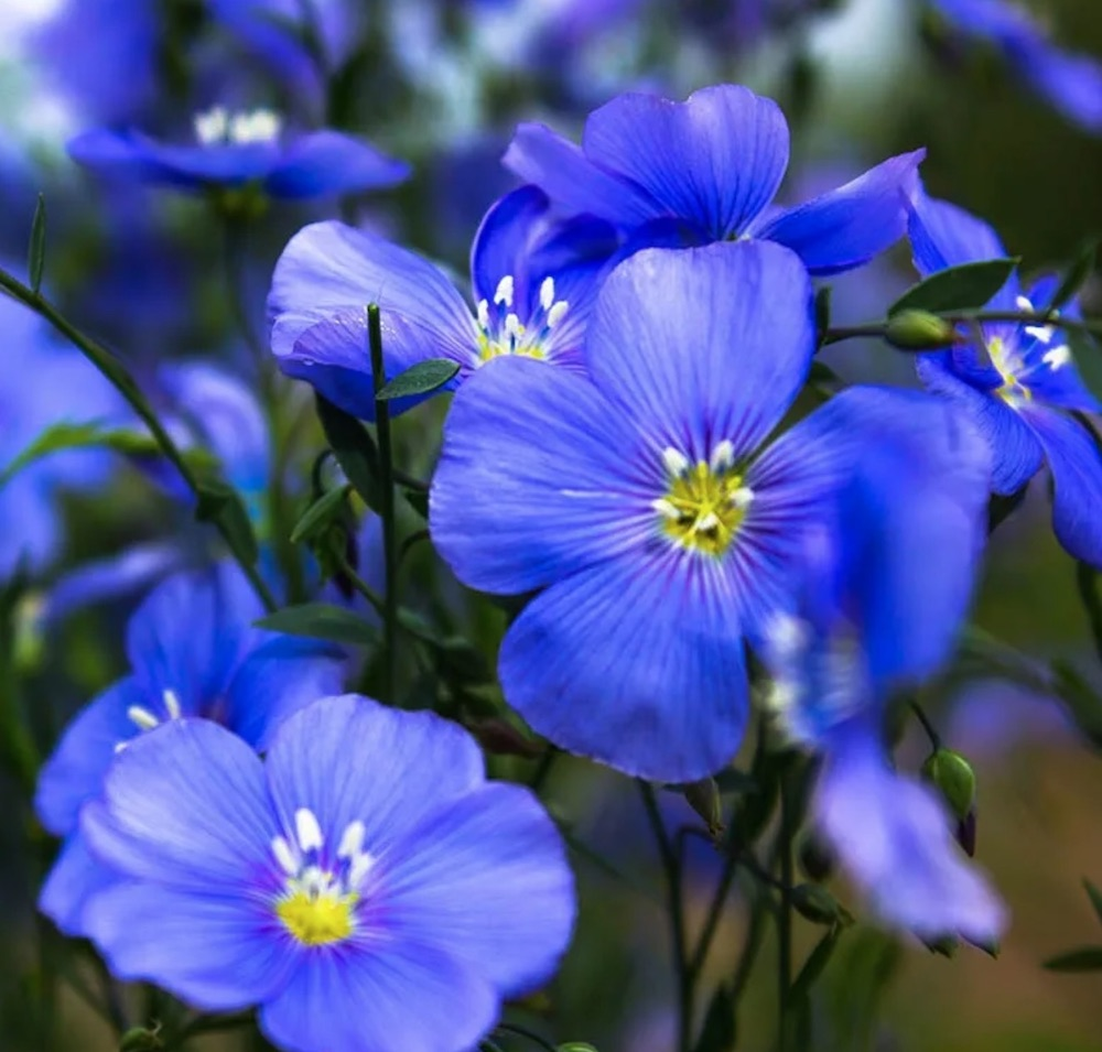 Sandy Soil Tolerant Appar Blue Flax #SandySoil #SandySoilConditions #Gardening #PlantsForSandySoil #SandySoilPlants #Landscaping