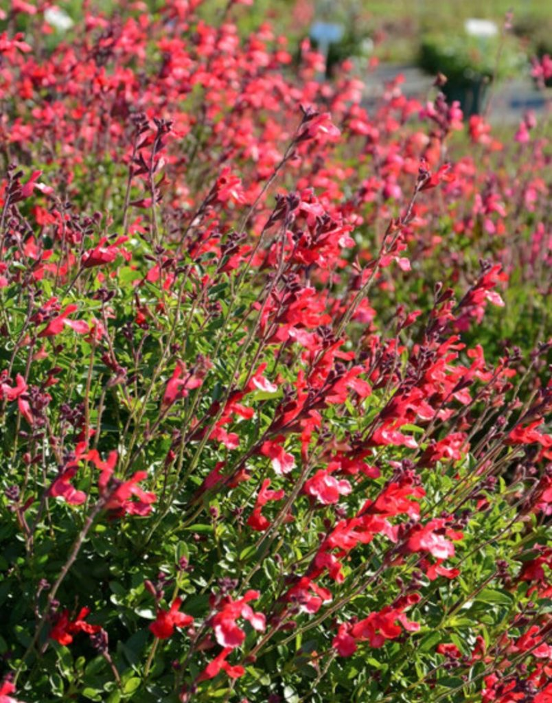 Cherry-Red Flowers Arctic Blaze Red Salvia #SandySoil #SandySoilConditions #Gardening #PlantsForSandySoil #SandySoilPlants #Landscaping