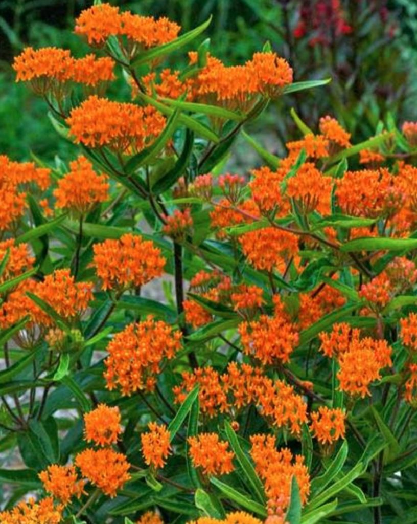 Thrives in Sandy Soils and Sun Asclepias Tuberosa #SandySoil #SandySoilConditions #Gardening #PlantsForSandySoil #SandySoilPlants #Landscaping
