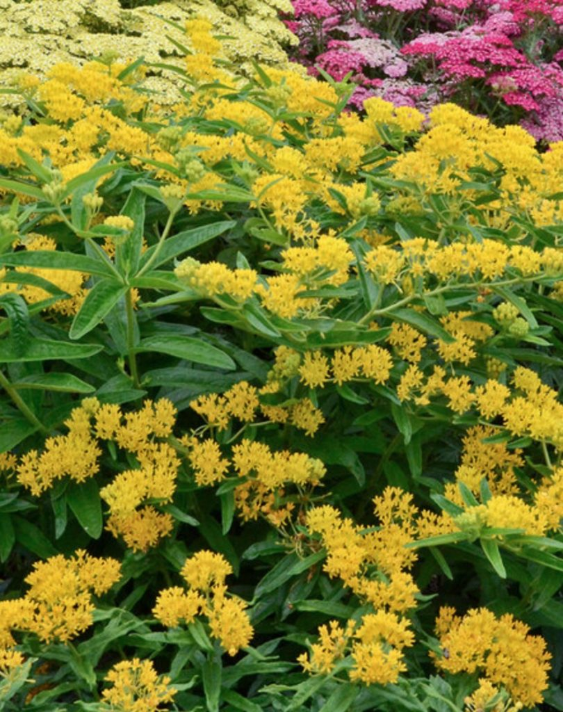 Plants that Grow in Sandy Soil and Sun Asclepias tuberosa Hello Yellow #SandySoil #SandySoilConditions #Gardening #PlantsForSandySoil #SandySoilPlants #Landscaping