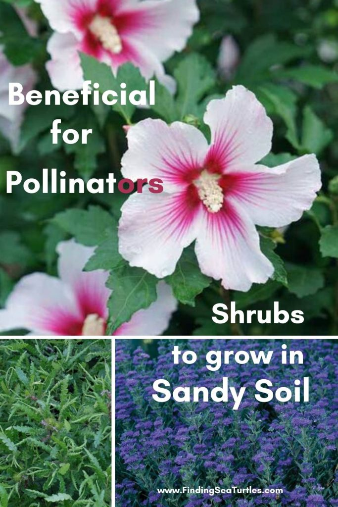 Beneficial for Pollinators Shrubs to grow in Sandy Soil #SandySoil #SandySoilShrubs #Perennials #Shrubs #Gardening #ShrubsForSandySoil #SandySoilSolutions #Landscaping