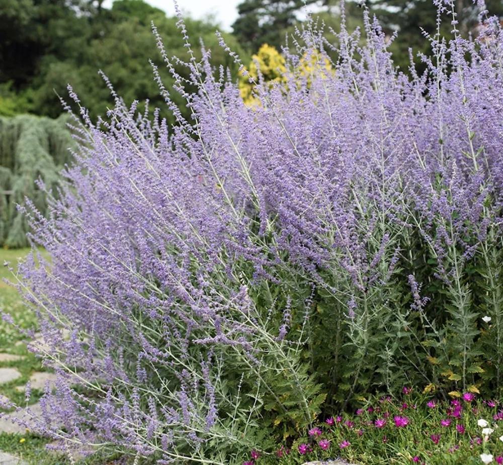 Companion Plants for Weeping Pink Blue Spires Russian Sage #FlowerKisser #WeepingPinkTexasYucca #Gardening #SummerFlowers #BeneficialForPollinators #BeeFriendly #AttractsHummingbirds
