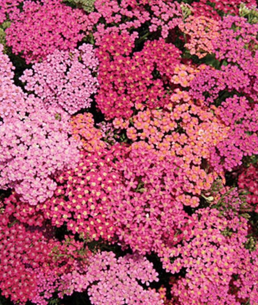 Once Established, Drought Tolerant Yarrow Cherries Jubilee Achillea #SandySoil #SandySoilConditions #Gardening #PlantsForSandySoil #SandySoilPlants #Landscaping