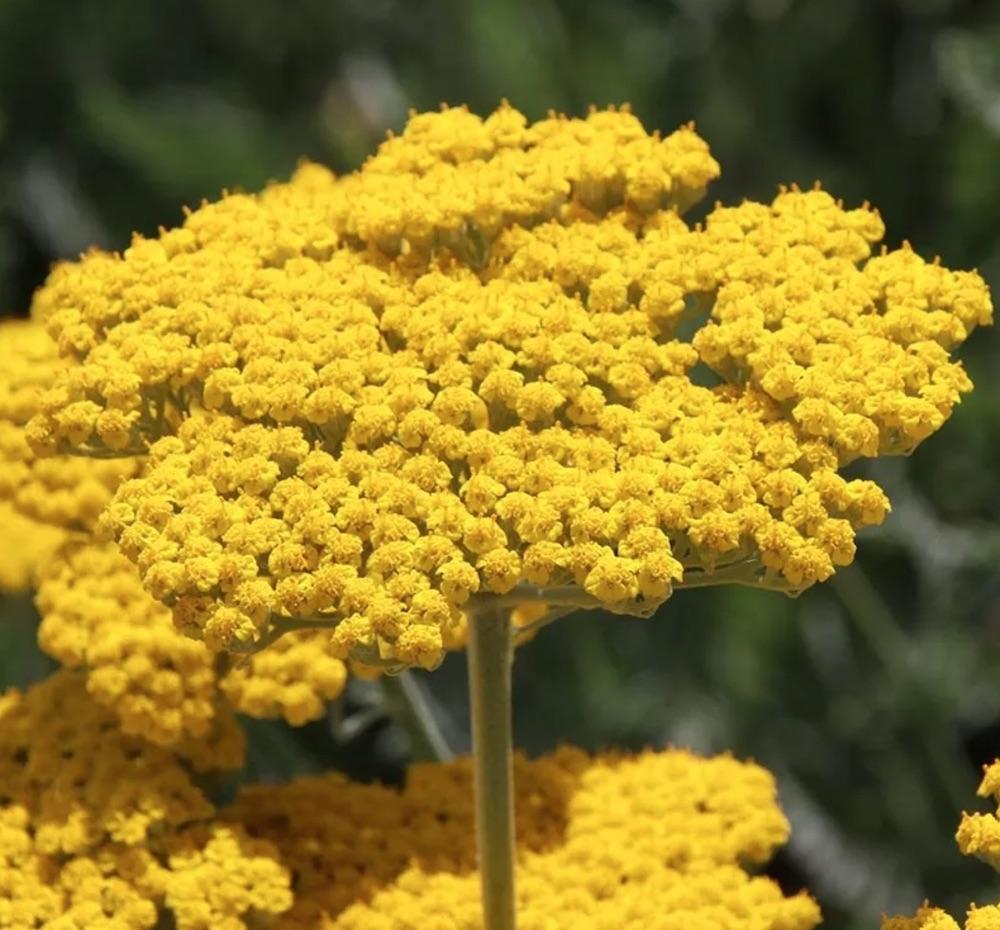 Companion Plants Coronation Gold Yarrow #FlowerKisser #WeepingPinkTexasYucca #Gardening #SummerFlowers #BeneficialForPollinators #BeeFriendly #AttractsHummingbirds