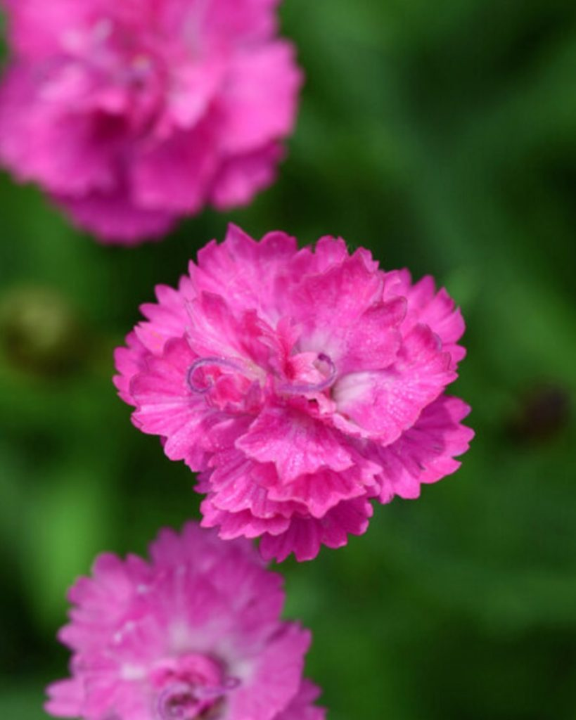 Plants that Grow in Sandy Soil and Sun Dianthus Pink Pompom #SandySoil #SandySoilConditions #Gardening #PlantsForSandySoil #SandySoilPlants #Landscaping
