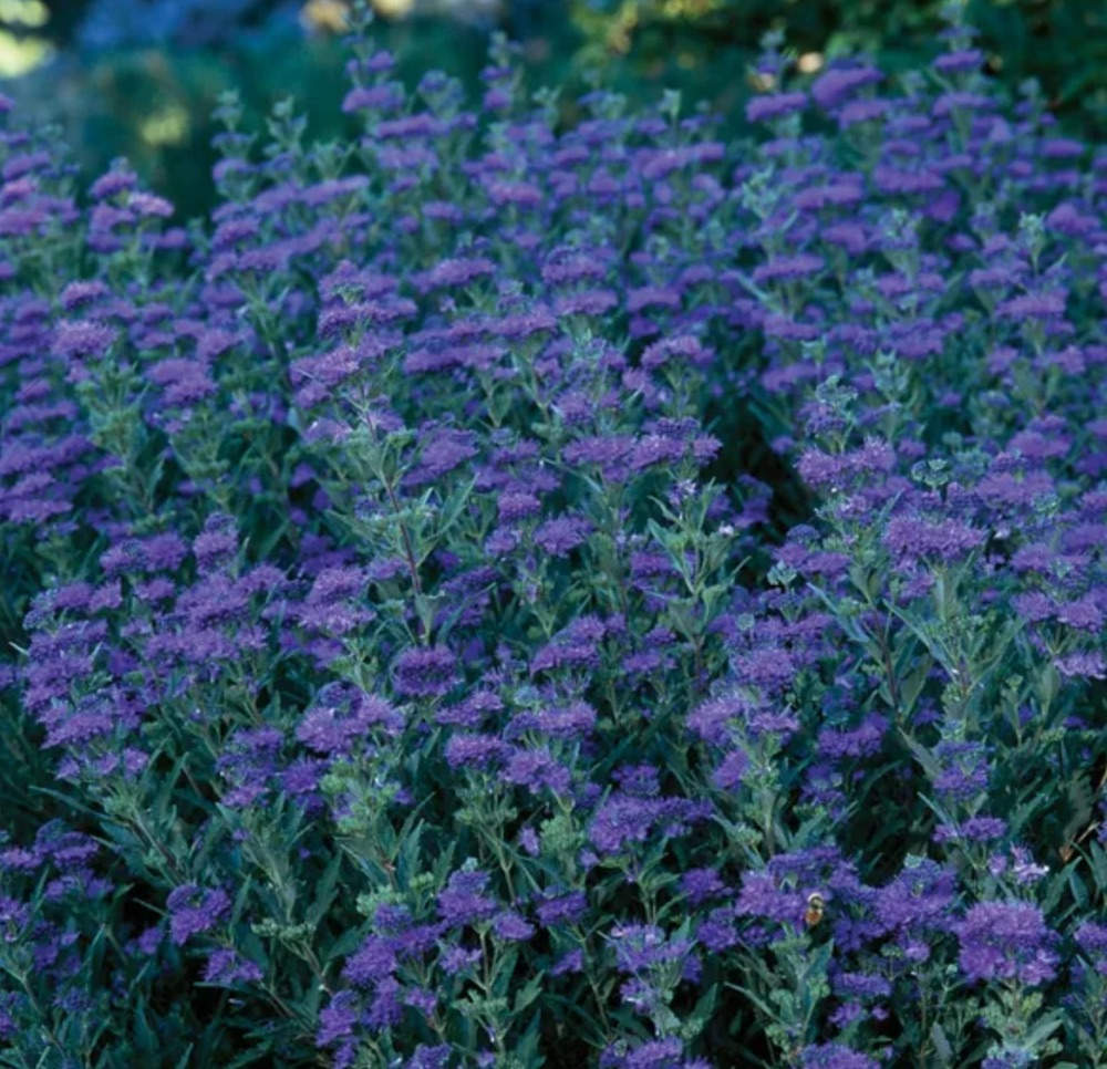Companion Plant First Choice Caryopteris or Blue Mist Spirea #FlowerKisser #WeepingPinkTexasYucca #Gardening #SummerFlowers #BeneficialForPollinators #BeeFriendly #AttractsHummingbirds