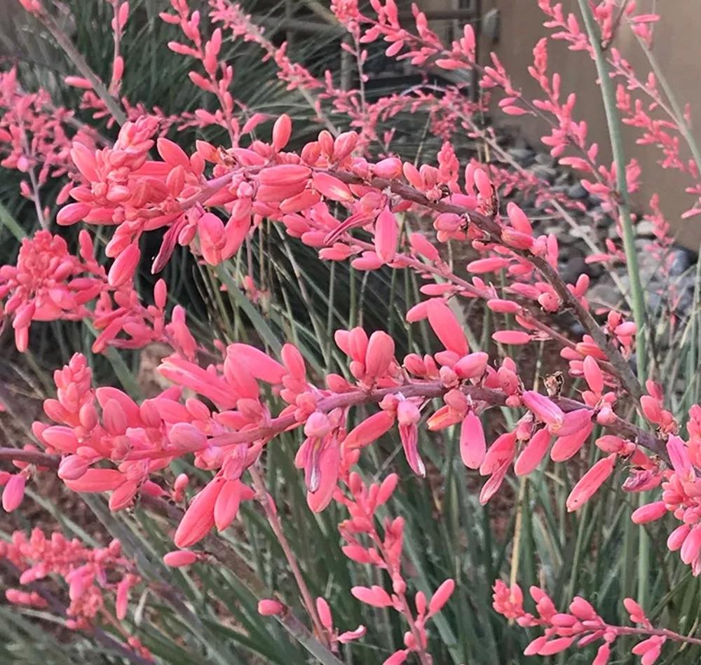 Loved by Hummingbirds FlowerKisser™ Weeping Pink Texas Yucca #FlowerKisser #WeepingPinkTexasYucca #Gardening #SummerFlowers #BeneficialForPollinators #BeeFriendly #AttractsHummingbirds