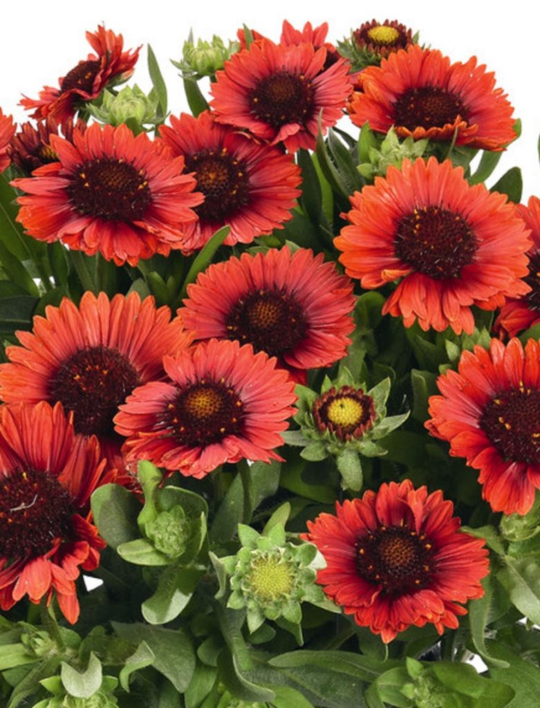Plants that Grow in Sandy Soil and Sun Gaillardia SpinTop Red #SandySoil #SandySoilConditions #Gardening #PlantsForSandySoil #SandySoilPlants #Landscaping