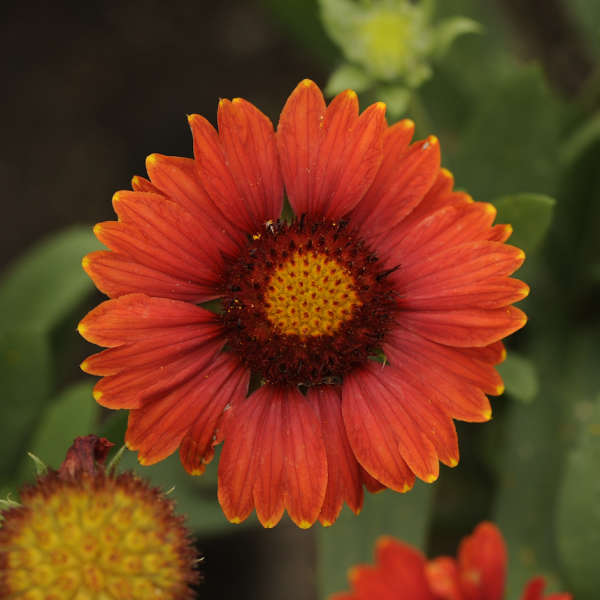 Pollinator Friendly Gaillardia aristata Arizona Red Shades - photo by Walters Gardens Inc #SandySoil #SandySoilConditions #Gardening #PlantsForSandySoil #SandySoilPlants #Landscaping