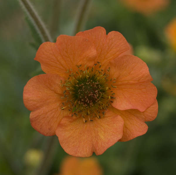 Bee Friendly Geum Totally Tangerine - photo by Walters Gardens Inc #SandySoil #SandySoilConditions #Gardening #PlantsForSandySoil #SandySoilPlants #Landscaping