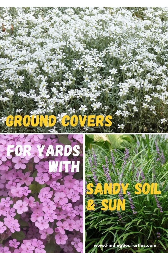 Ground Covers for Yards with Sandy Soil Sun #SandySoil #SandySoilGroundCovers #Gardening #GroundCoversForSandySoil #SandySoilSolutions #Landscaping