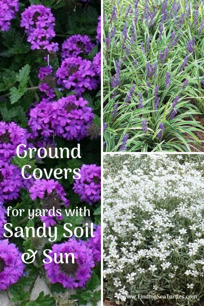 Ground Covers for yards with Sandy Soil and Sun #SandySoil #SandySoilGroundCovers #Gardening #GroundCoversForSandySoil #SandySoilSolutions #Landscaping