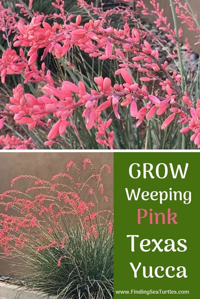 Weeping Pink Texas Yucca Grow Weeping Pink Texas Yucca #FlowerKisser #WeepingPinkTexasYucca #Gardening #SummerFlowers #BeneficialForPollinators #BeeFriendly #AttractsHummingbirds