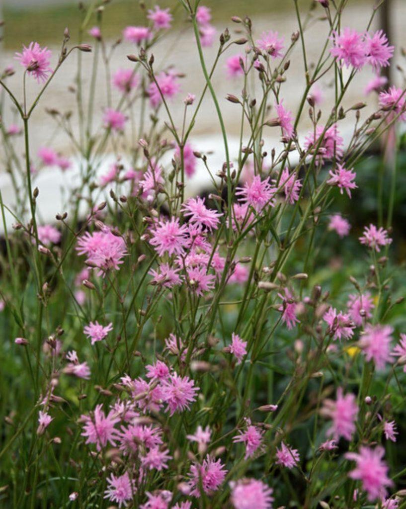 Beneficial for Pollinators Lychnis flos-cuculi Petite Jenny #SandySoil #SandySoilConditions #Gardening #PlantsForSandySoil #SandySoilPlants #Landscaping