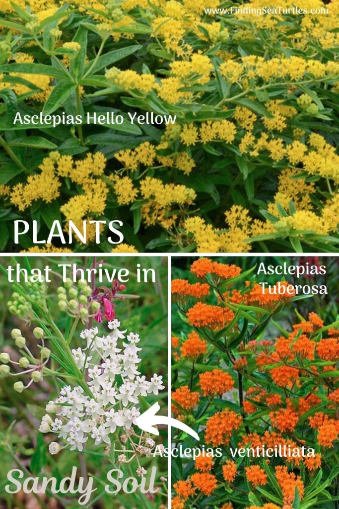 PLANTS that Thrive in Sandy Soils Asclepias #SandySoil #SandySoilConditions #Gardening #PlantsForSandySoil #SandySoilPlants #Landscaping