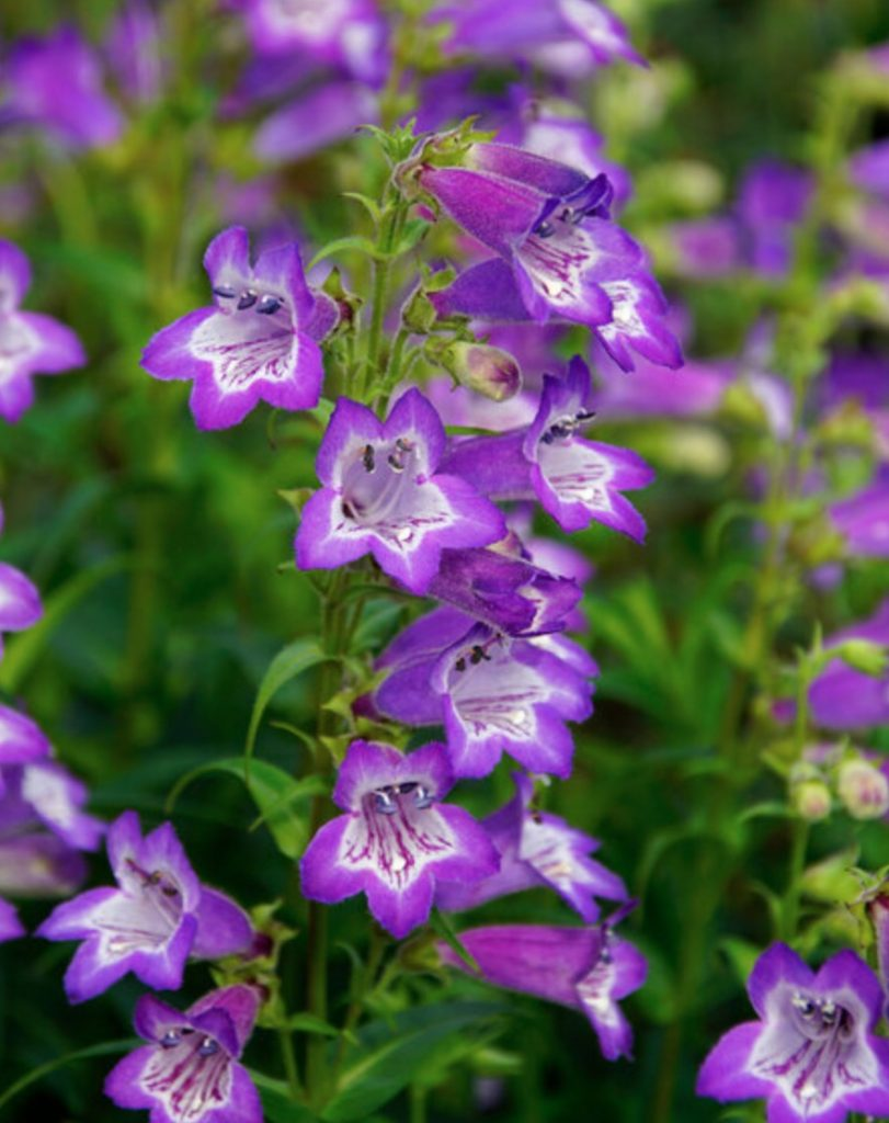 Plants that Grow in Sandy Soil and Sun Penstemon Cha Cha Lavender #SandySoil #SandySoilConditions #Gardening #PlantsForSandySoil #SandySoilPlants #Landscaping