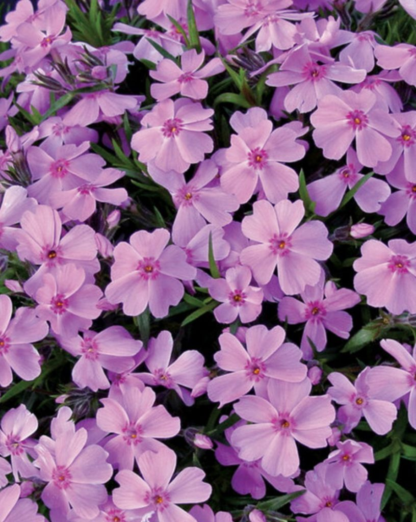 Sandy Soil Tolerant Phlox subulata Ronsdorfer Beauty #SandySoil #SandySoilGroundCovers #Gardening #GroundCoversForSandySoil #SandySoilSolutions #Landscaping