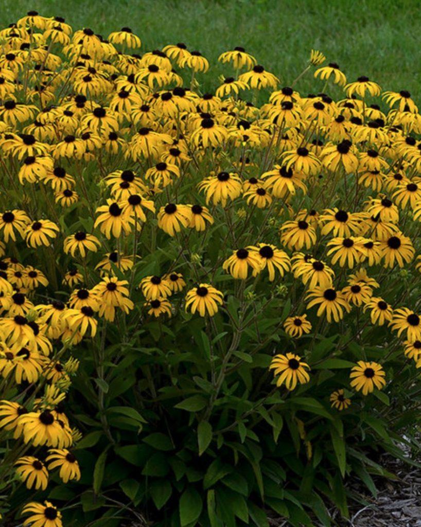 Sandy Soil Tolerant Rudbeckia American Gold Rush #SandySoil #SandySoilConditions #Gardening #PlantsForSandySoil #SandySoilPlants #Landscaping