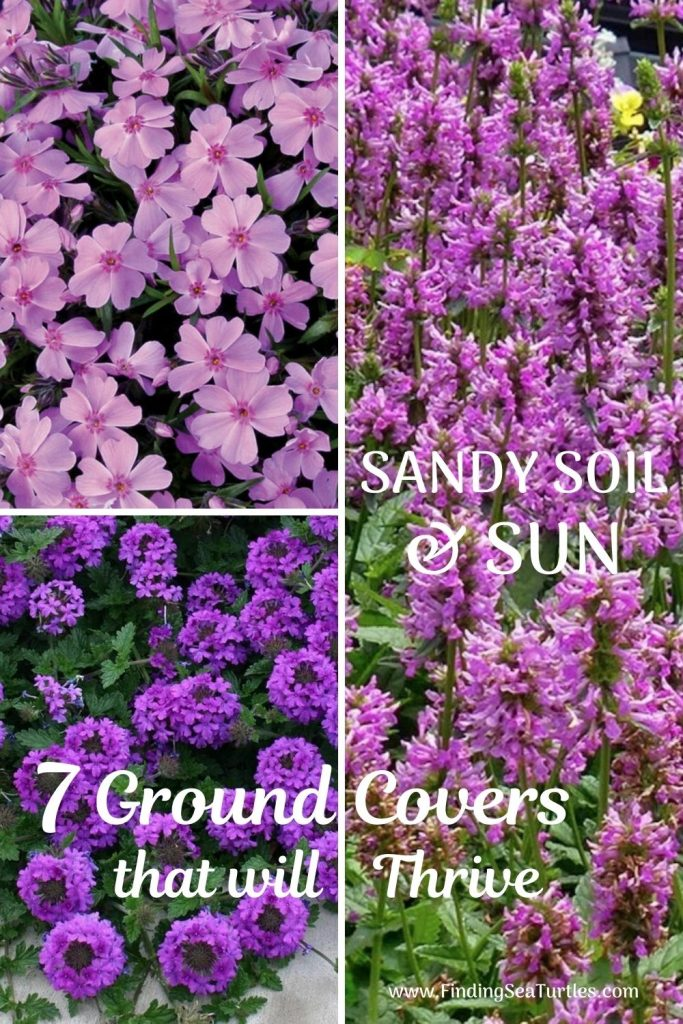SANDY SOIL and SUN 7 Ground Covers that will Thrive #SandySoil #SandySoilGroundCovers #Gardening #GroundCoversForSandySoil #SandySoilSolutions #Landscaping