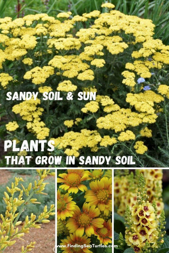 Sandy Soil Sun Plants that Grow in Sandy Soil #SandySoil #SandySoilConditions #Gardening #PlantsForSandySoil #SandySoilPlants #Landscaping