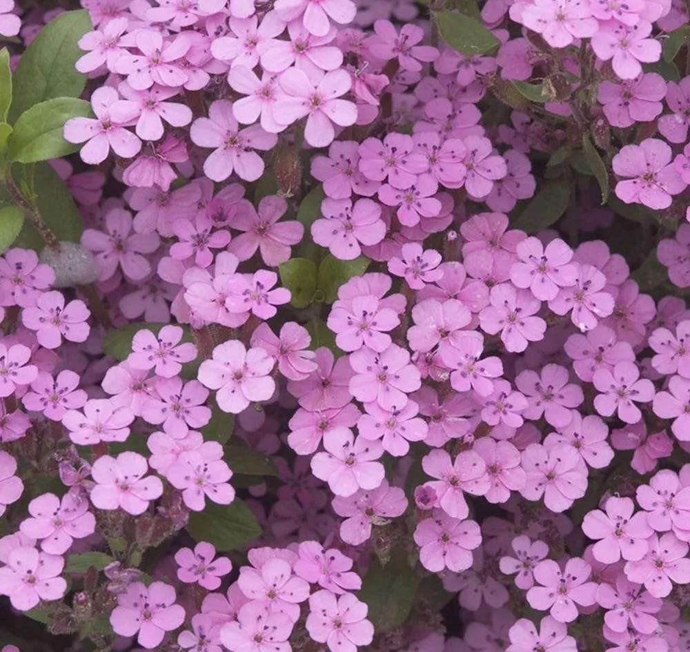 Bee Friendly Saponaria ocymoides #SandySoil #SandySoilGroundCovers #Gardening #GroundCoversForSandySoil #SandySoilSolutions #Landscaping