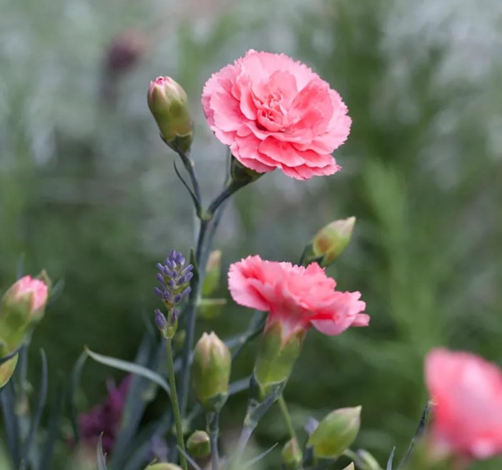 Fragrant Scent First® Romance Garden Pinks #SandySoil #SandySoilConditions #Gardening #PlantsForSandySoil #SandySoilPlants #Landscaping