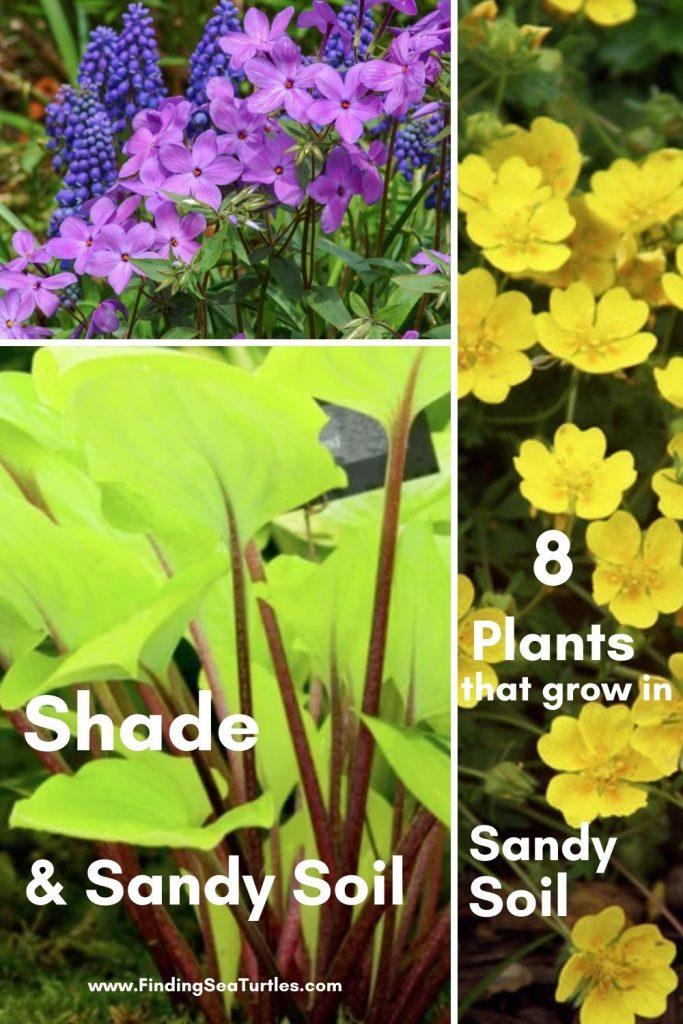 Shade Sandy Soil 8 Plants that grow in Sandy Soil #SandySoil #SandySoilPlants #Perennials #Gardening #PlantsForSandySoil #SandySoilSolutions #Landscaping