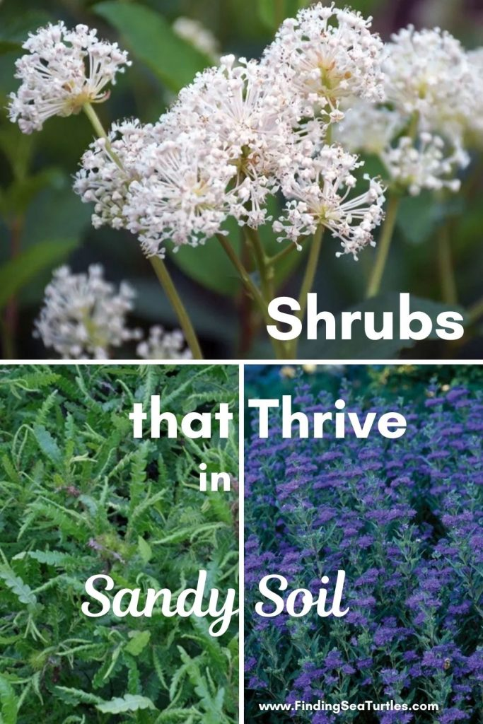 Shrubs that Thrive in Sandy Soil #SandySoil #SandySoilShrubs #Perennials #Shrubs #Gardening #ShrubsForSandySoil #SandySoilSolutions #Landscaping