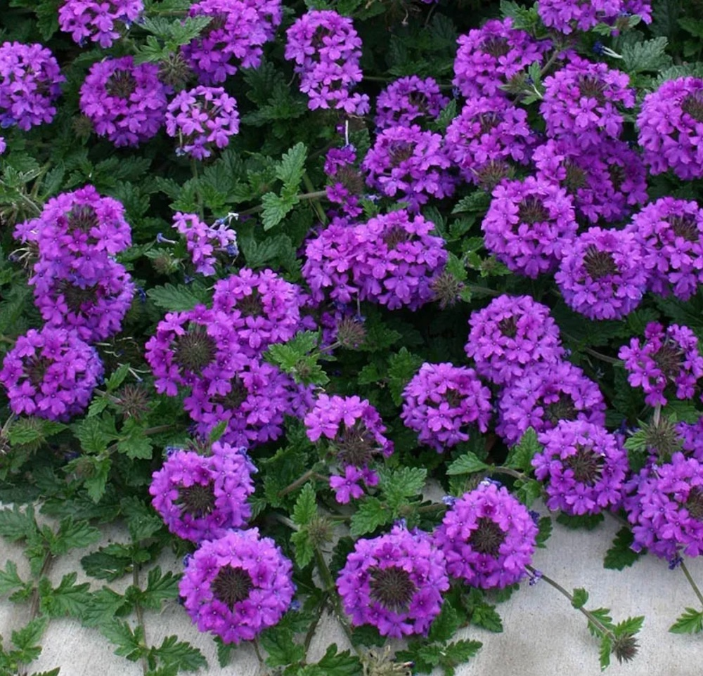 Groundcovers that Grow in Sandy Soil and Sun Valley Lavender Plains Verbena #SandySoil #SandySoilGroundCovers #Gardening #GroundCoversForSandySoil #SandySoilSolutions #Landscaping