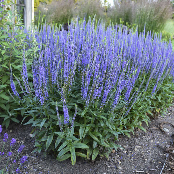 Pollinator Friendly Veronica Blue Skywalker - photo by Walters Gardens Inc #SandySoil #SandySoilConditions #Gardening #PlantsForSandySoil #SandySoilPlants #Landscaping