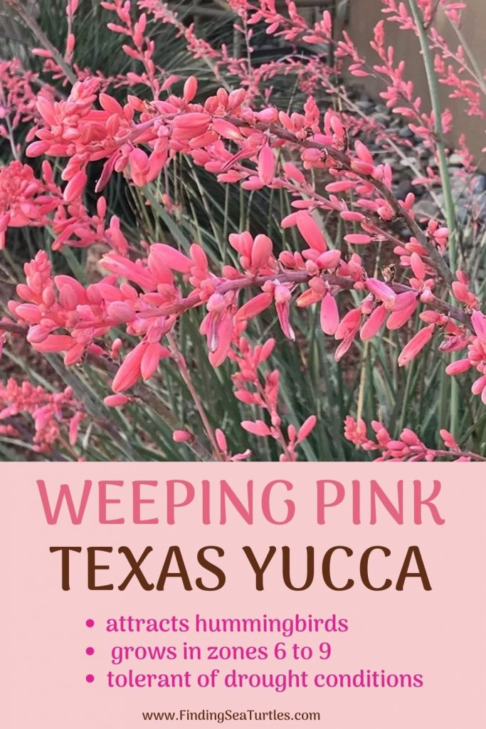 WEEPING PINK Texas Yucca attracts hummingbirds #FlowerKisser #WeepingPinkTexasYucca #Gardening #SummerFlowers #BeneficialForPollinators #BeeFriendly #AttractsHummingbirds